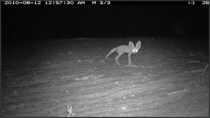 Photograph from a camera trap in Kenya showing a mammal at night eyes lit up by the flash. Photo prepared by Rajan Amin and Tim Wacher (Jan 2015).